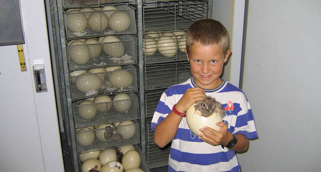 Hatching eggs on a working ostrich farm tour
