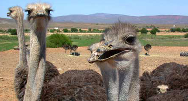 Meet the world's largest bird on a working ostrich farm tour