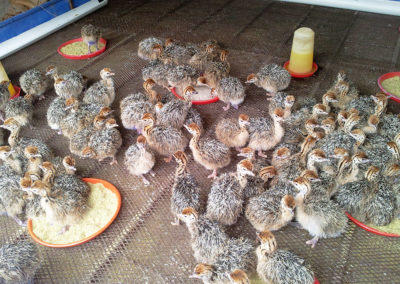 ostrich-chicks