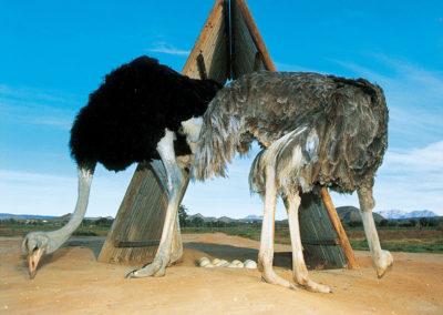 ostrich-pair